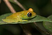 Green bright-eyed frog (Boophis viridis) from Andasibe, eastern Madagascar.