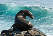 """A Galápagos Sea Lion (Zalophus wollebaeki) watches waves break on North Seymour Island in the Galápagos archipelago, a province of Ecuador, located 972 km west of the continent of South America. This mammal in the Otariidae family breeds exclusively on the Galápagos Islands and in smaller numbers on Isla de la Plata, Ecuador. Being fairly social, and one of the most numerous species in the Galápagos archipelago, they are often spotted sun-bathing on sandy shores or rock groups or gliding gracefully through the surf. They have a loud """"bark"""", playful nature, and graceful agility in water. Slightly smaller than their Californian relatives, Galápagos Sea Lions range from 150 to 250 cm in length and weigh between 50 to 400 kg, with the males averaging larger than females. Sea lions have external ear-like pinnae flaps which distinguish them from their close relative with whom they are often confused, the seal. When wet, sea lions are a shade of dark brown, but once dry, their color varies greatly. The females tend to be a lighter shade than the males and the pups a chestnut brown. In 1959, Ecuador declared 97% of the land area of the Galápagos Islands to be Galápagos National Park, which UNESCO registered as a World Heritage Site in 1978. Ecuador created the Galápagos Marine Reserve in 1998, which UNESCO appended in 2001."""