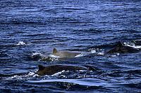 Baird's Beaked Whale (Berardius bairdii).  Monterey Bay, California.  Oct 2002.