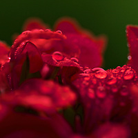 Delicate drops of rainwater stay behind after an afternoon shower on the petals of a flower.