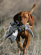 """(Shot on 4/10/2005)  .Tanner hunts for the first time at the Bluffs Hunt Club in Byers, Co.The Vizsla, as described in the American Kennel Club (AKC) standard, is a medium-sized short-coated hunting dog of distinguished appearance and bearing. Robust but rather lightly built; the coat is a golden-rust color. The coat could also be described as a copper/brown color. They are lean dogs, and have defined muscles, and are similar to a Weimaraner. Vizslas are lively, gentle-mannered, loyal, caring and highly affectionate. They quickly form close bonds with their owners, including children. Often they are referred to as """"velcro"""" dogs because of their loyalty and affection. They are quiet dogs, only barking if necessary or provoked. They are natural hunters with an excellent ability to take training (American Breed Standard, AKC). Not only are they great pointers, but they are excellent retrievers as well..(Photo by MARC PISCOTTY / © 2005)"""
