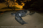 A female Leatherback Sea Turtle, Dermochelys coriacea, nests at nighttime on Grand Riviere, Trinidad, and returns to the Caribbean Sea. During peak nesting season in late May / early June, this beach will receive roughly 300 nesting Leatherback every night, making it one of the busiest and most important nesting locations in the world for the critically endangered species. Flash photography allowed with permit.