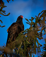 Turkey Vulture in a Tree. Winter Backyard Nature in New Jersey. Image taken with a Nikon Df camera and 80-400 mm VR lens