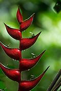 Lobster-claw Plant (Heliconia sp.)<br /> Yasuni National Park, Amazon Rainforest<br /> ECUADOR. South America
