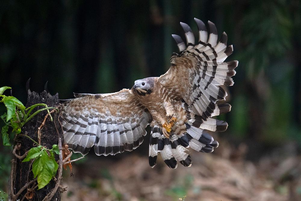 Oriental or Crested honey buzzard, Pernis ptilorhynchus, Chayi, Taiwan