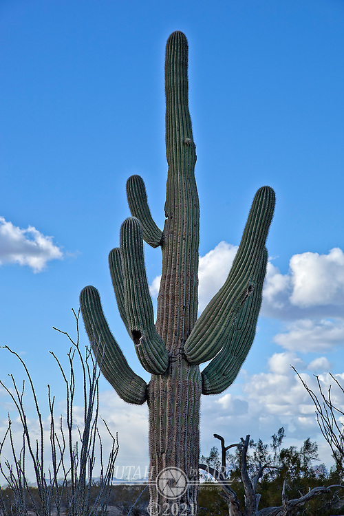 Saguaro Cactus in Arizona