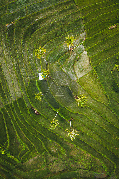 Aerial view of paddy rice fields in Guindulman region, the Philippines.