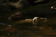 A grey wagtail, peering into the water, lit by a ray of sunlight in a woodland river.
