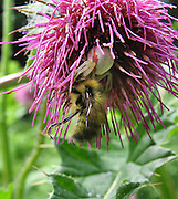 A camouflaged Crab Spider (Family Thomisidae) kills a bee in a pinkish magenta thistle flower on the hike to Rachel Lake in Alpine Lakes Wilderness Area, Washington, USA. Crab Spiders can change their coloration to match the flower within 24 hours. They are widespread in Washington and other states. Spiders have eight legs and are not insects. Spiders (order Araneae, class Arachnida) are air-breathing arthropods that have chelicerae, grasping mouthparts with fangs that inject venom. Unlike spiders, insects have six legs and a pair of antennae.