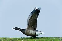 22.04.2009<br /> Brent Goose (Branta bernicla) Örvös lúd<br /> Hallig Hooge, Germany