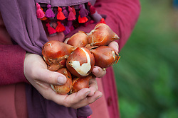 Holding tulip bulbs ready to plant
