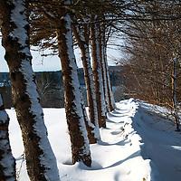 Fresh snow coating Maine pine trees, Damariscotta River.