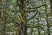 Moss blankets the branches of trees, creating fuzzy green arms like a Mahakali goddess in the temperate rain forest of Wallace Falls State Park. Gold Bar, Washington, USA. Hike the verdant Greg Ball Trail along North Fork Wallace River.
