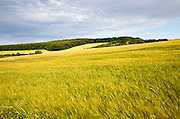 Chalk summer landscape with barley growing hillside, near Lockeridge, Wiltshire, England, UK
