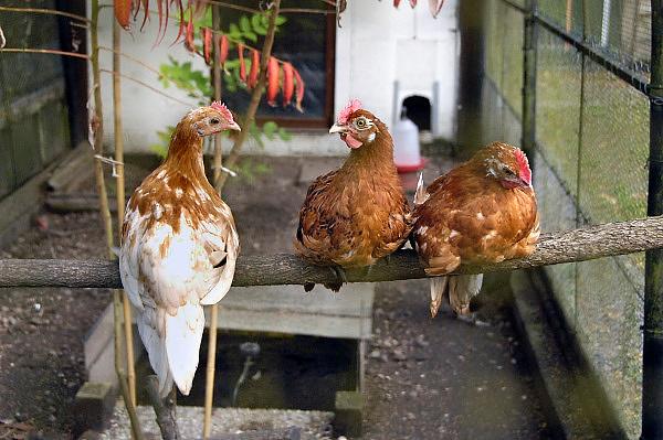 Nederland, Ubbergen, 3-10-2010Drie jonge kippen in een hobbyren.Foto: Flip Franssen/Hollandse Hoogte