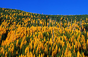 Western larch, conifers and larch snags on Mushroom Mountain in fall. Northwest Peak Roadless Area in the Purcell Mountains, northwest Montana