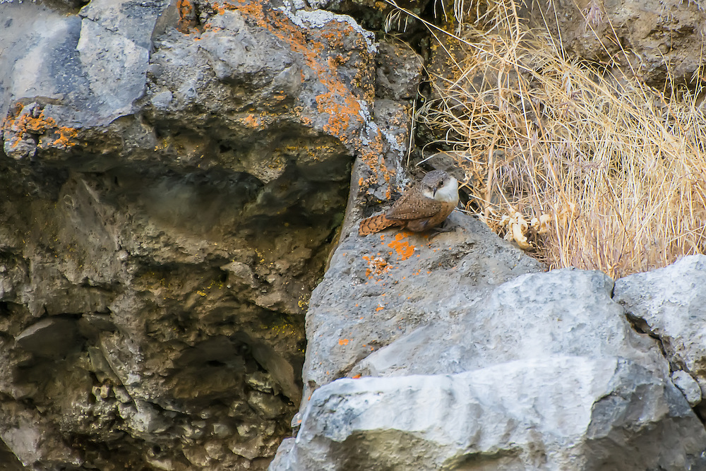 Brightly colored, yet perfectly camouflaged, the somewhat rare canyon wren blends in perfectly with the lichen encrusted basalt cliffs of White Pass, above the Tieton River.