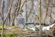 Male Ruffed Grouse on Drumming Log