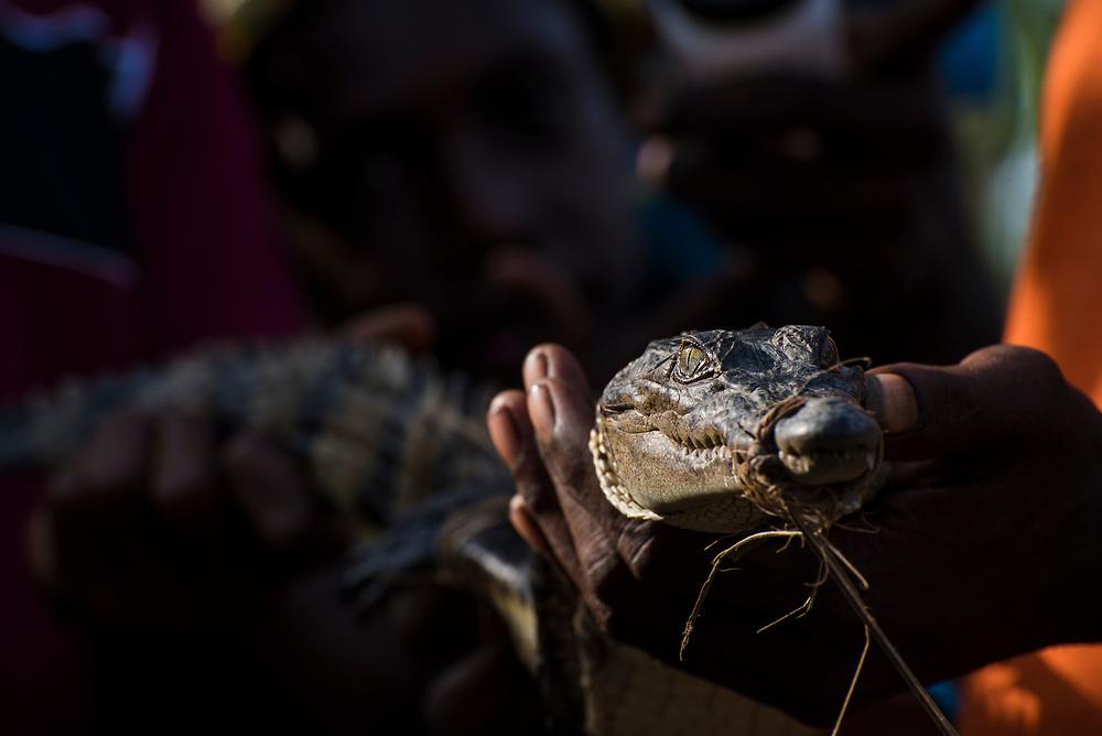 A juvenile crocodile captured near Yar village, located on the Keram River in East Sepik Province, Papua New Guinea.<br /> <br /> (June 21, 2019)