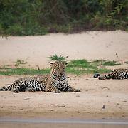 Jaguar, mating pair of male and female. Pantanal, Brazil