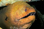 giant moray eel, Gymnothorax javanicus,<br /> Mabul Island, Borneo, Malaysia,<br /> ( Celebes Sea )