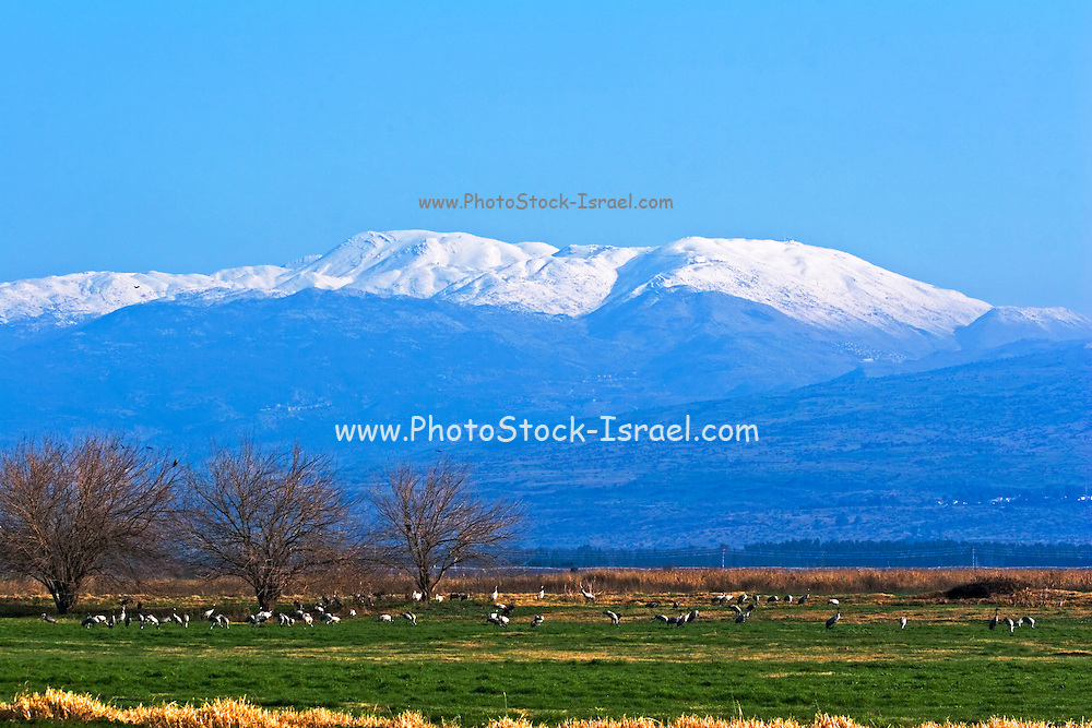 Israel, Hula Valley, Grey Cranes Grus grus at the Agamon lake Snow covered Hermon mountain in the background winter January