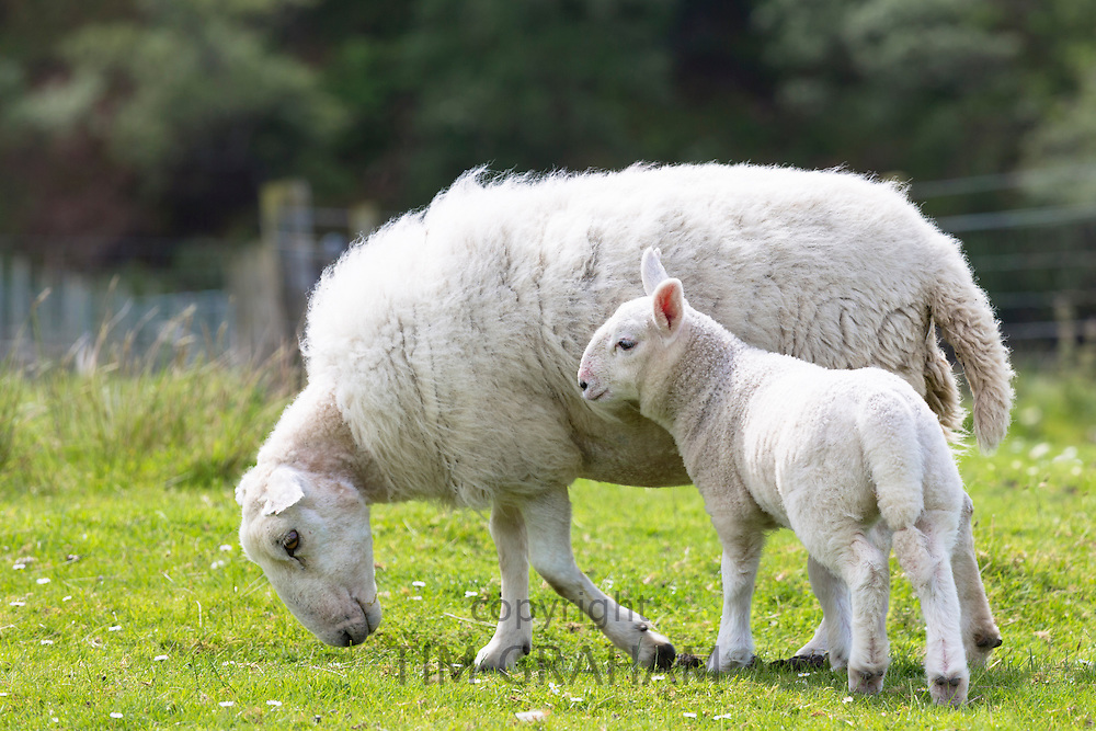 Sheep, female ewe with lamb, at Coigach in Western Scotland