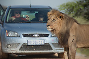 Tourists stop for a lion to cross the road near Okaukuejo restcamp at Etosha National Park in northern Namibia.