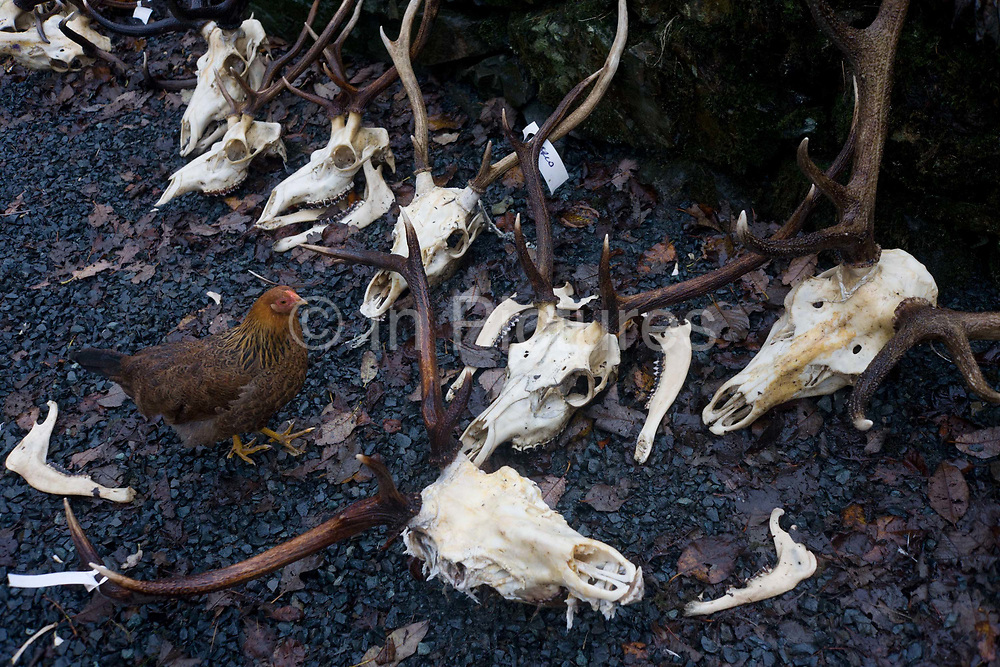 Hens peck at deer and goat skulls and antler remains that lie in the rain after the annual cull at the Pennyghael Estate, Isle of Mull, Scotland. In the wet gravel, the heads still have their flesh attached to their sockets and farm livestock are free to clear them before the remains are cleaned again and sent to those who shot these animals, many of which came to this estate on the Ross of Mull from other EU countries. The open seasons for deer stalking in Scotland are: Red deer – stags 1st July – 20th October Red deer – hinds  21st October – 15th February Roe bucks 1st April – 20th October<br /> Fallow bucks 1st August – 30th April.