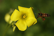 Bee on Oxalis pes-caprae (Bermuda buttercup, African wood-sorrel, Bermuda sorrel, Buttercup oxalis, Cape sorrel, English weed, Goat's-foot, Sourgrass, Soursob and Soursop;