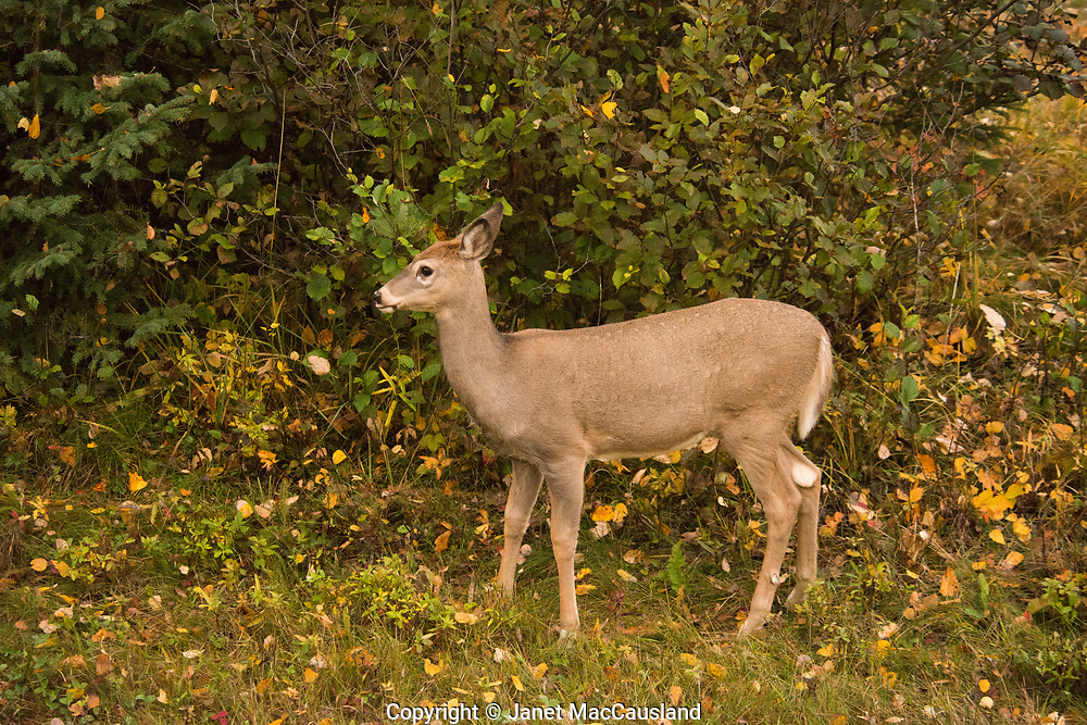 Still sporting a fawns' spots, a young deer stops to look around, in the fall, Saskatchewan, Canada.