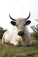 Vaynol, a rare breed of cattle