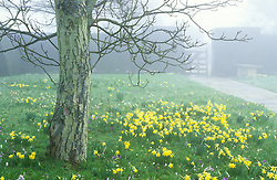 A misty morning with naturalised daffodils (Narcissus pseudonarcissus) and crocuses (Crocus vernus hybrids) in the front meadow at Great Dixter