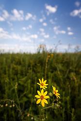 Engelmann's daisies in field, Blackland Prairie remnant, White Rock Lake, Dallas,Texas, USA. (Tentative ID).