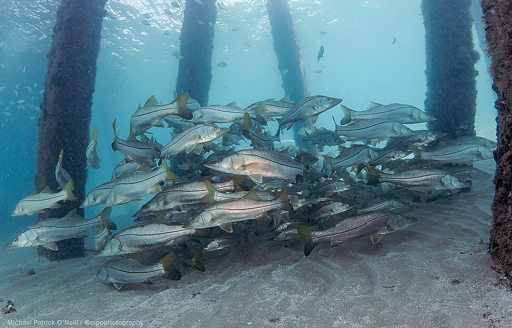 Common Snook, Centropomus undecimalis, gather underneath the Lake Worth Pier in Palm Beach County, Florida in late May.