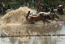 "June 30, 2017 - Namkhana, West Bengal, India - The race of the""Moichara""(Cattle race) take place during the beginning of monsoon in a village near Namkhana, west Bengal. Moichhara means ladder on the field and this is the  traditional process for farmers to cultivate the land, west bengal, india 30.6.2017  (Credit Image: © Sushavan Nandy/NurPhoto via ZUMA Press)"