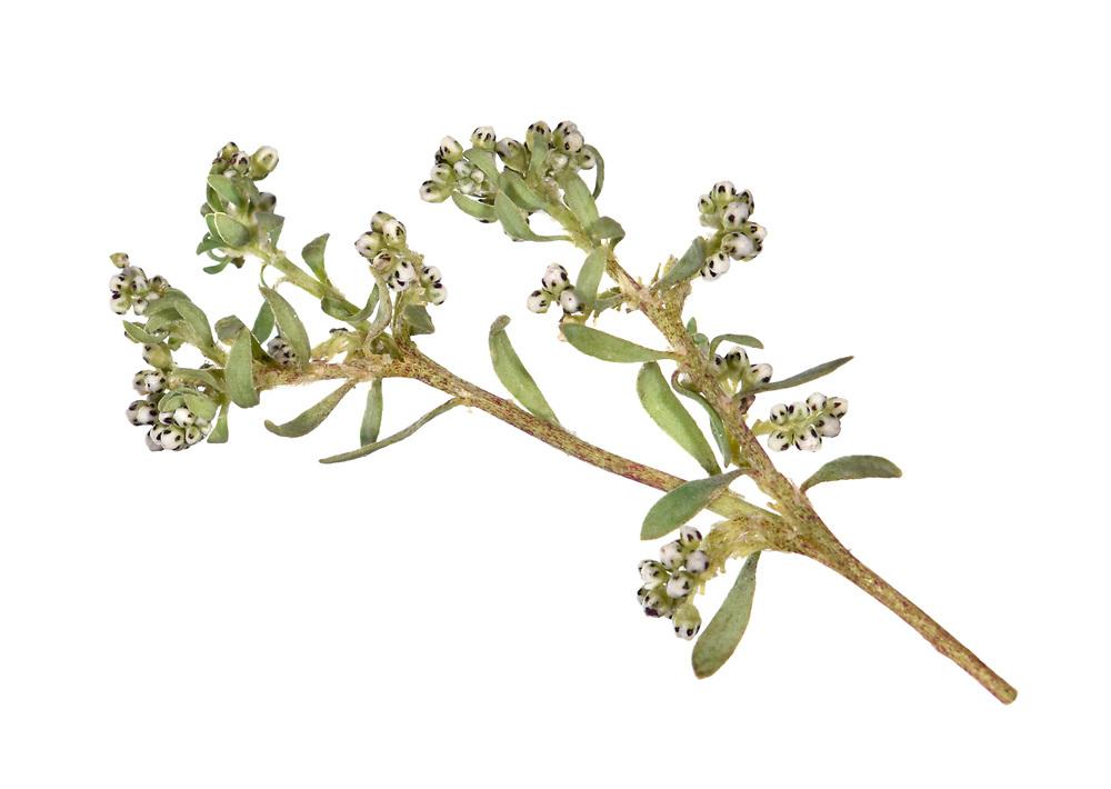 Strapwort - Corrigiola litoralis