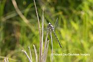 06340-00220 Gray Petaltail (Tachopteryx thoreyi) Washington Co. MO