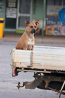 Dog waiting on a truck
