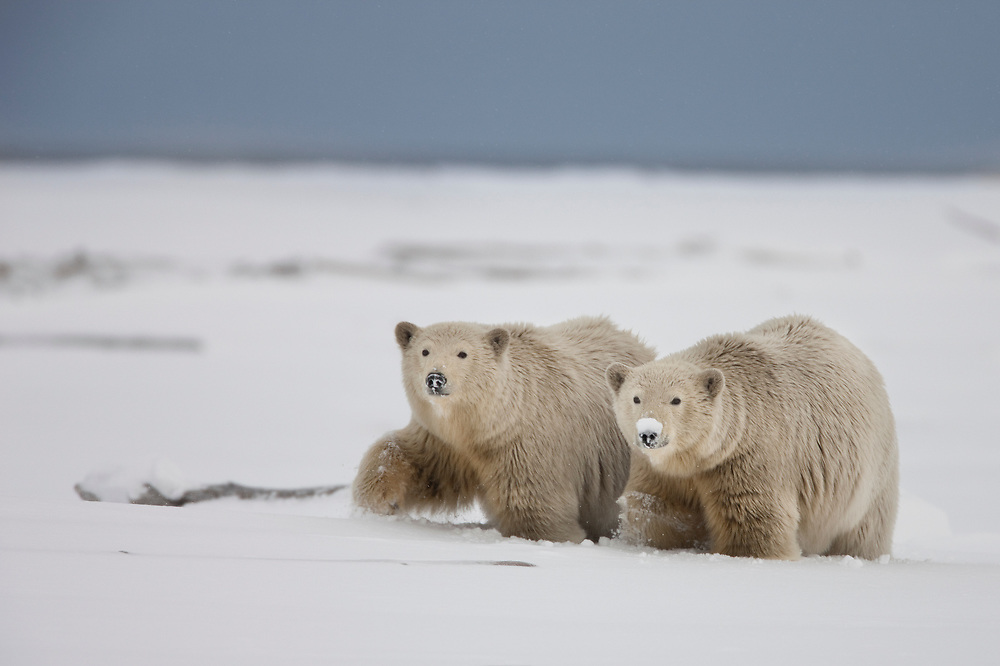 A polar bear sow and her twin two year old cubs, walk along a snowy beach on the Beaufort Sea Coast in ANWR, Alaska while searching for  food during early winter