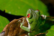 Red-eyed tree frog in rain forest of Costa Rica