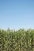 Vertical of corn growing<br />