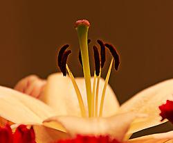 Tight macro shot of Peruvian Lily Anthers