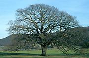 Oak tree in Winter, Quercus robur, no leaves, season sequence.