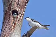 Pair of Tree Swallows, one in nest in tree hollow.(Tachycineta bicolor).Bolsa Chica Wetlands,California