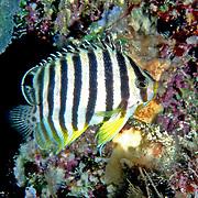 Multi-Barred Angelfish inhabit reefs. Picture taken PNG