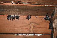 01850-001.03 (TF) Rafinesque's big- eared bats (Plecotus rafinesquii) Johnson Co.   IL