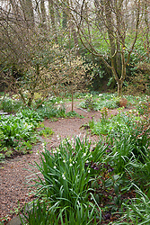 Leucojum aestivum, Narcissus 'Thalia', hellebores and colchicum foliage in the woodland garden at Glebe Cottage.