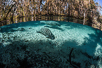 Two manatees know exactly where the warmest place in the freshwater springs is on this January winter day. Florida manatees come to Three Sisters Springs during the cooler months to rest and stay warm. This split-level image shows both land and underwater views. Taken in the Crystal River National Wildlife Refuge, Kings Bay, Crystal River, Citrus County, Florida USA. Florida manatee, Trichechus manatus latirostris, a subspecies of the West Indian manatee