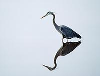 Great blue heron, Ardea herodias, Blackwater National Wildlife Refuge, Cambridge, Maryland